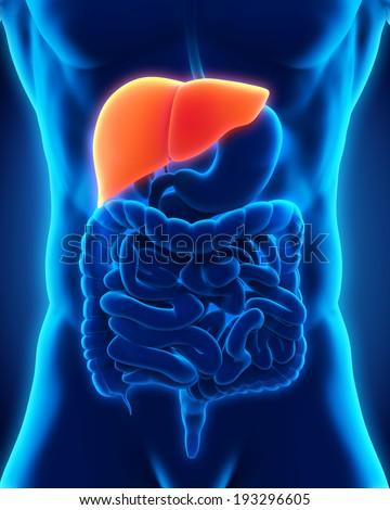 Human Liver Anatomy - stock photo