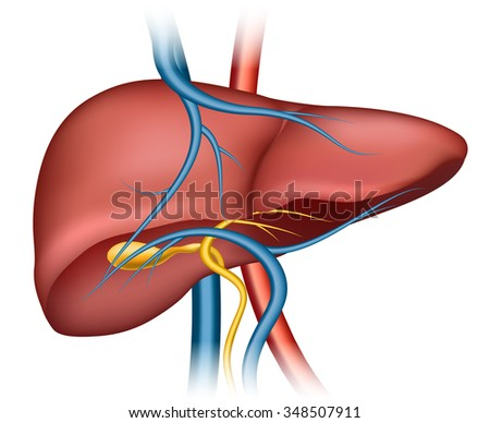 Human liver structure - stock photo