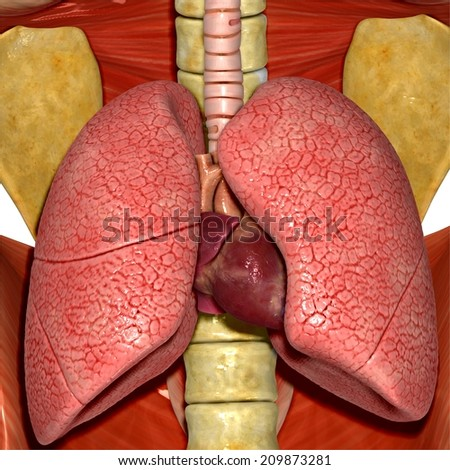 Human lungs and heart - stock photo