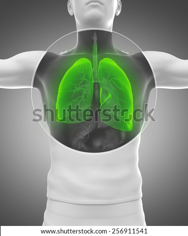 Human man anatomy with x-ray lungs and respiratory system in green - stock photo