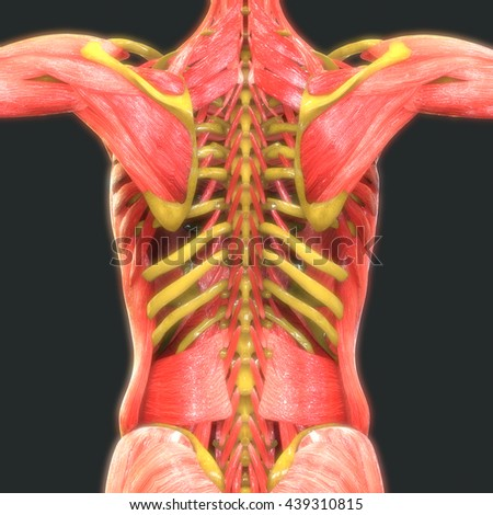 Human Muscle Body With Skeleton Anatomy. 3D - stock photo