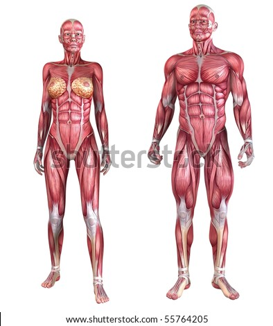 human muscle system - stock photo