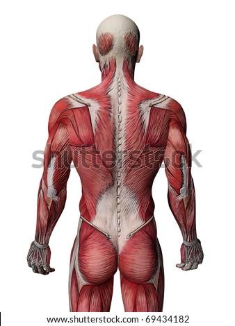 Human Muscle Xray - stock photo