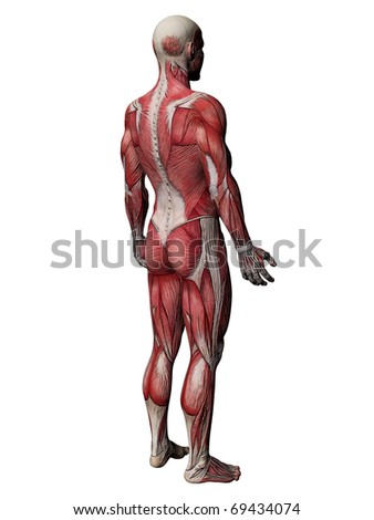 Human Muscles Body - stock photo