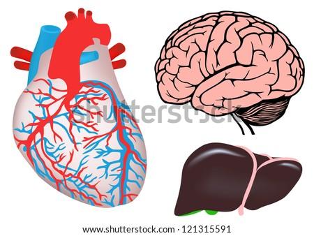 human organs. human heart, liver and brain. jpg version - stock photo