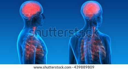 Human Organs Lungs and Brain. 3D - stock photo