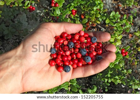 human palm full of berries, cowberry and blueberries, Russia, Hibiny, tundra - stock photo