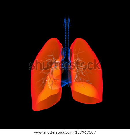 Human respiratory system lung red colored - back view - stock photo