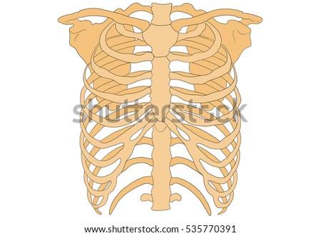 Human Rib Cage Thoracic Cage Thoracic Stock Illustration 535770391 ...