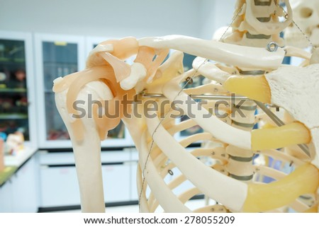 human skeletal model with focusing arm area - stock photo