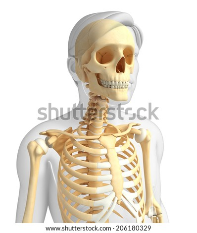 human body xray stock photos, royalty-free images & vectors, Skeleton