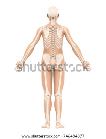 Human skeleton anatomy isolated back view stock illustration human skeleton anatomy isolated back view 3d rendering ccuart Image collections
