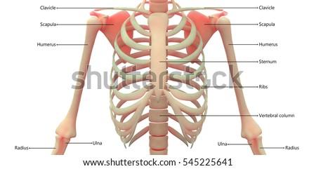 Human Skeleton Anatomy Ribs 3 D Stock Illustration 545225641 ...
