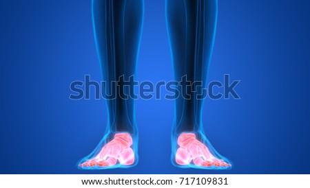 Human Skeleton Bones Anatomy Foot 3 D Stock Illustration 717109831
