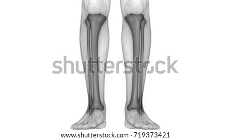 Human Skeleton Bones Anatomy Tibia Fibula Stock Illustration ...
