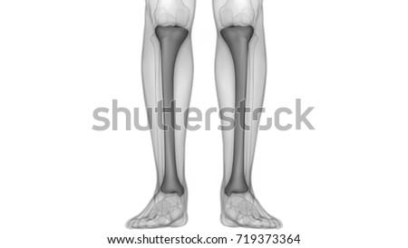 Human Skeleton Bones Anatomy Tibia 3d Stock Illustration 719373364