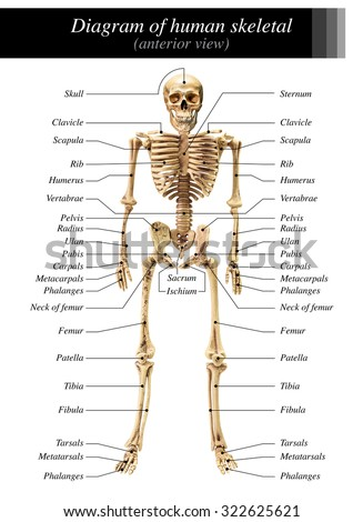 front view of the human skeleton stock images, royalty-free images, Skeleton