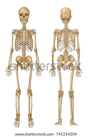 Human skeleton face back view stock illustration 741214204 human skeleton face and back view ccuart Gallery