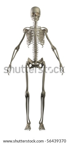 Human skeleton isolated front view - stock photo