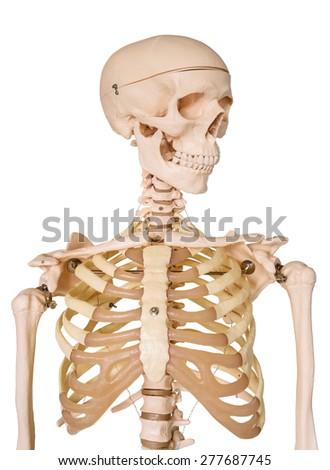 Human skeleton isolated on white background. - stock photo