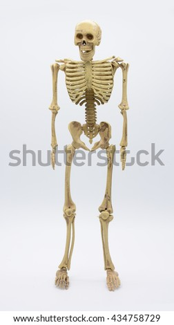 human skeleton isolated on white background