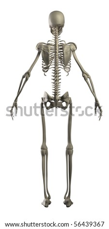 Human skeleton isolated rear view - stock photo