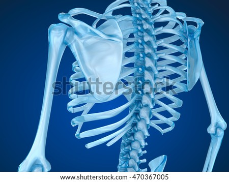 Human skeleton, spine and scapula. Medically accurate 3D illustration