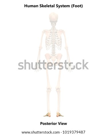 Human Skeleton System Foot Joints Anatomy Stock Illustration