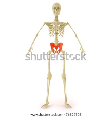 human skeleton with red pelvis bone. isolated on white. - stock photo
