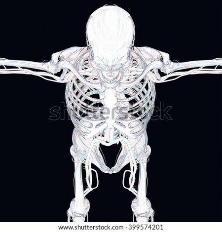 Human skeleton with vascular system, veins. 3D Illustration.