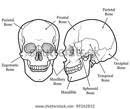 Sphenoid Stock Images, Royalty-Free Images & Vectors ... Skull X Ray Views Chart