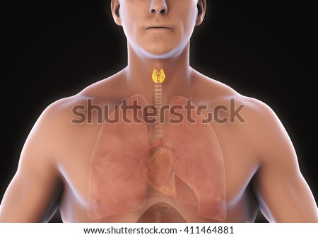 Human Thyroid Gland Anatomy. 3D rendering - stock photo