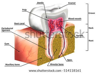 Human Tooth Anatomy Diagram Description Illustration Stock