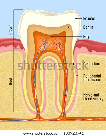 human tooth cross-section - stock photo