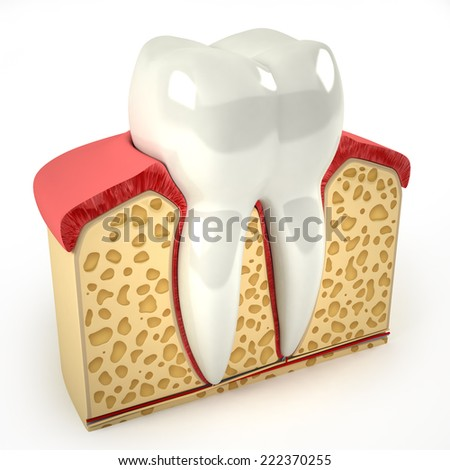 Human tooth cross-section (3d model) - stock photo