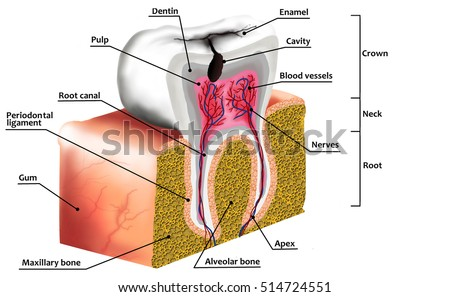 Human tooth decay anatomy diagram description stock illustration human tooth decay anatomy diagram with description illustration of tooth cross section ccuart Choice Image