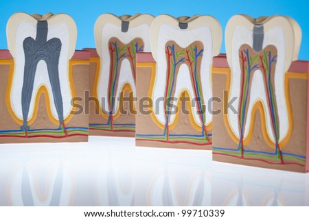 Human tooth structure - stock photo