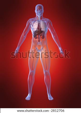 human upper organs - stock photo