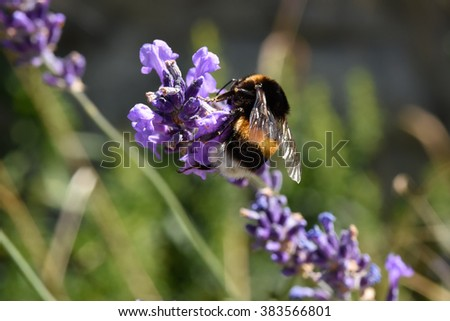 humble-bee on lavander flower blurred background