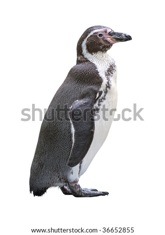 Humboldt penguin (Spheniscus humboldti) adult isolated on white background with clipping path
