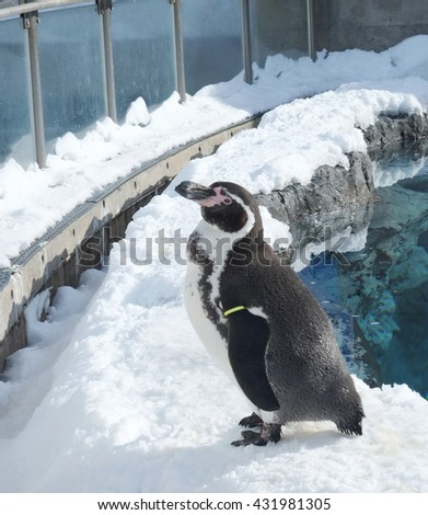 Humboldt penguin (Spheniscus humboldti) on snow in a zoo - stock photo