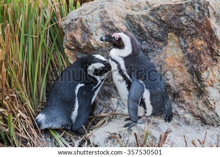 Humboldt Penguins mutual grooming. A lovely pair of Humboldt penguins engage in a bit of mutual grooming. - stock photo