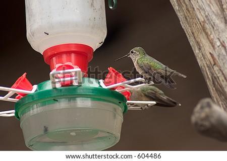Humming Bird - stock photo