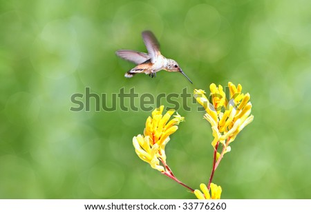 humming bird about to take a sip from Kangaroo Paws plant - beautiful bokeh background - stock photo