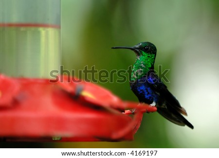 humming bird. ecuador. south america - stock photo