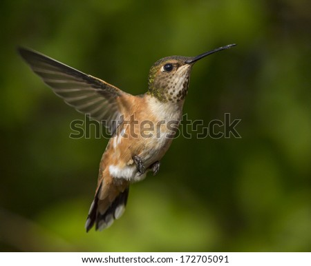 Humming bird flying against natural green background - stock photo