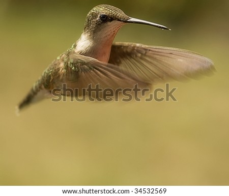Humming bird hovering in air with wings stretched out in front. - stock photo