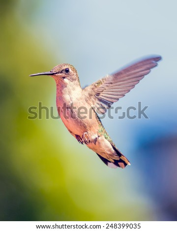 Hummingbird - stock photo