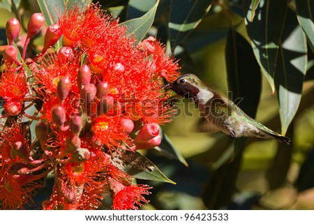 Hummingbird and red tree flower.  View of hummingbird hovering next to red tree flower. - stock photo