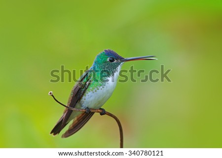 Hummingbird Andean Emerald, Amazilia franciae, with clear green background, Colombia - stock photo